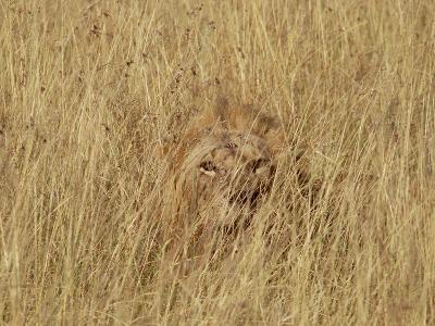 Lion (Panthera Leo) Young Male Camouflaged in Tall Grass, Masai Mara, Kenya-Gerry Ellis-Photographic Print