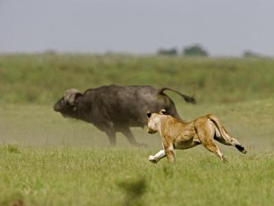 Lion (Pathera Leo)Hunting, Chasing an African Buffalo (Syncerus Caffer)-Beverly Joubert-Photographic Print