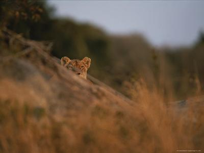 Lion Peers From the Cover of a Large Rock-Kim Wolhuter-Photographic Print