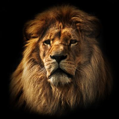 https://imgc.artprintimages.com/img/print/lion-portrait-on-black-background-big-adult-lion-with-rich-mane_u-l-q105qh90.jpg?p=0