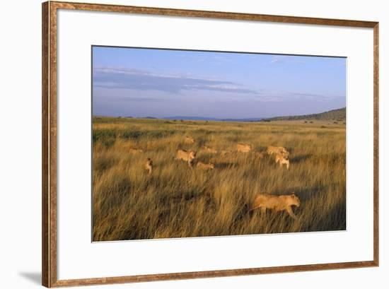 Lion Pride Females and Cubs, Returning to Territory--Framed Photographic Print