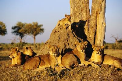 Lion Pride Resting at Acacia Tree--Photographic Print
