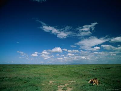 Lion Resting on the Vast Savanna-Beverly Joubert-Photographic Print