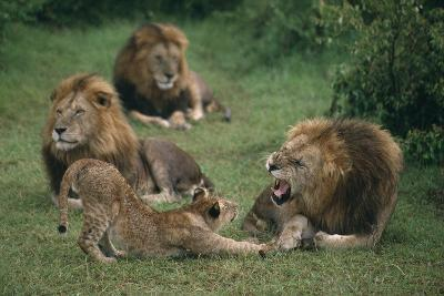 Lion Roaring at Cub in Grass-DLILLC-Photographic Print