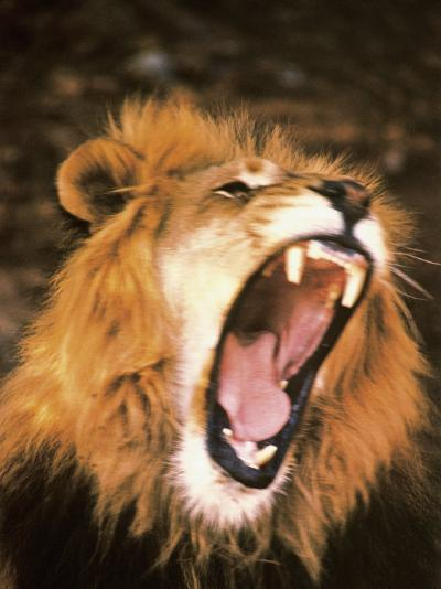 Lion Roaring in the Wild-John Dominis-Photographic Print