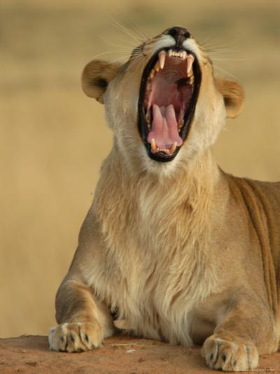Lion Roaring, Namibia, South Africa-Keith Levit-Photographic Print