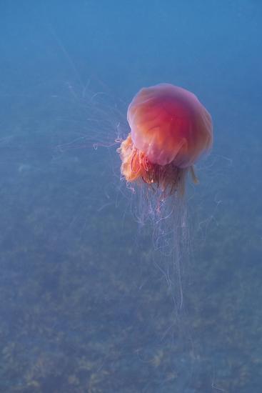 Lion's mane jellyfish (Cyanea capillata), Prince William Sound, Alaska, United States of America, N-Ashley Morgan-Photographic Print