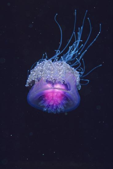 Lion's Mane Jellyfish-Alexis Rosenfeld-Photographic Print