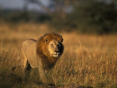 Lion, Savuti Marsh, Chobe National Park, Botswana-Paul Souders-Photographic Print