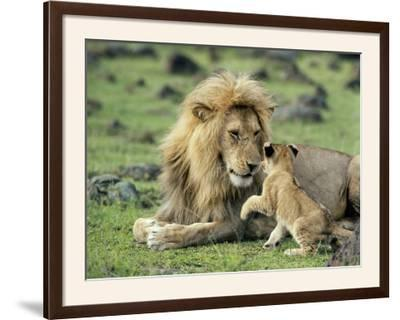Lion Single Male Playing with Cub--Framed Photographic Print