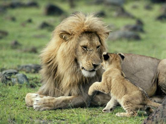 Lion Single Male Playing with Cub--Photographic Print