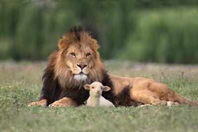 https://imgc.artprintimages.com/img/print/lion-sitting-down-with-lamb_u-l-pzrgnz0.jpg?p=0