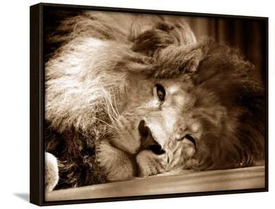 Lion Sleeping at Whipsnade Zoo Asleep One Eye Open, March 1959--Framed Canvas Print