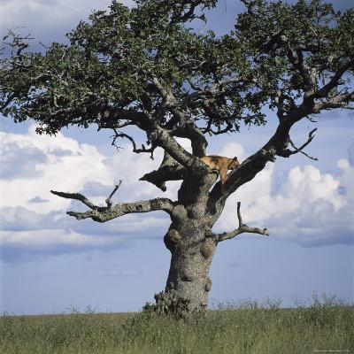 Lion Sleeps in the High Branches of a Tree-David Pluth-Photographic Print