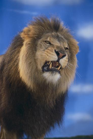 Lion Snarling-DLILLC-Photographic Print