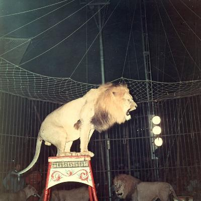 Lion Standing on a Pedestal Inside a Circus Cage Roaring-A^ Villani-Photographic Print