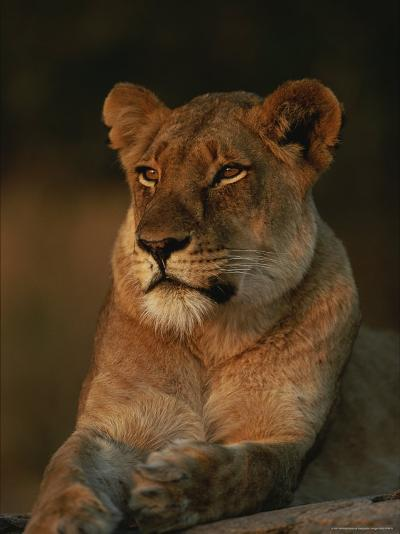 Lion Strikes a Restful Pose in Afternoon Sun-Kim Wolhuter-Photographic Print