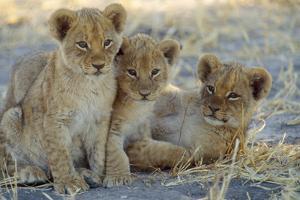 Lion Three 8 Weeks Old Cubs
