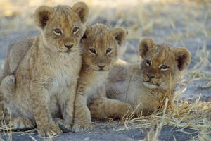 Lion Three 8 Weeks Old Cubs