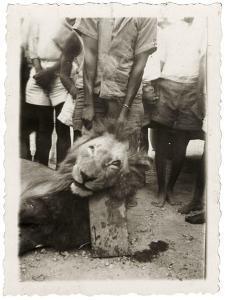 Lion Tué À La Mission de Luashi, c.1940