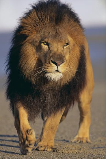 Lion Walking on Sand-DLILLC-Photographic Print