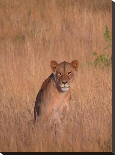 Lion Wildlife Africa Cat-Wonderful Dream-Stretched Canvas Print
