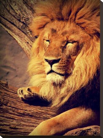 Lion Wildlife Cat Animal Africa-Wonderful Dream-Stretched Canvas Print