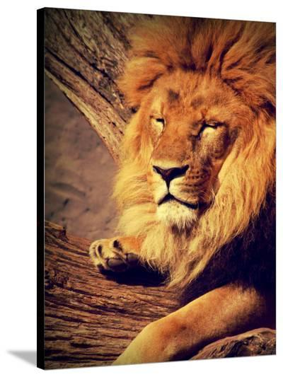 Lion Wildlife Cat Animal Africa-Wonderful Dream-Stretched Canvas Print