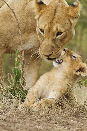 Lion with Young One, Maasai Mara Wildlife Reserve, Kenya-Jagdeep Rajput-Photographic Print