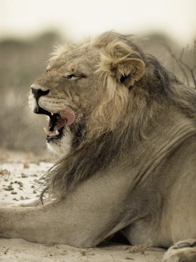 Lion Yawning--Photographic Print