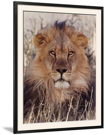 Lion--Framed Photographic Print