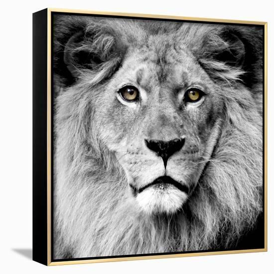 Lion--Framed Canvas Print