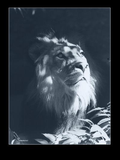 Lion-Gordon Semmens-Giclee Print