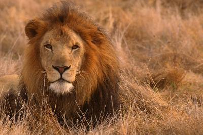 Lion-DLILLC-Photographic Print