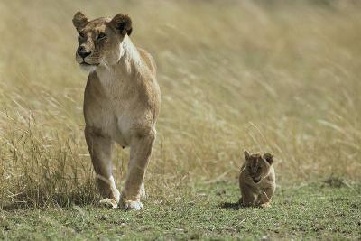 Lioness and Cub-Mark C. Ross-Photographic Print