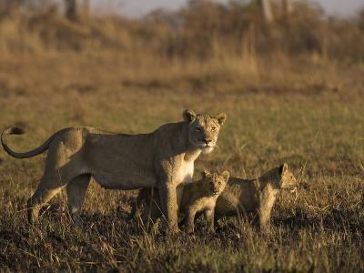 Lioness and Cubs, Busanga Plains, Kafue National Park, Zambia, Africa-Sergio Pitamitz-Photographic Print