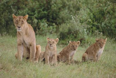 Lioness and Cubs in Grass-DLILLC-Photographic Print