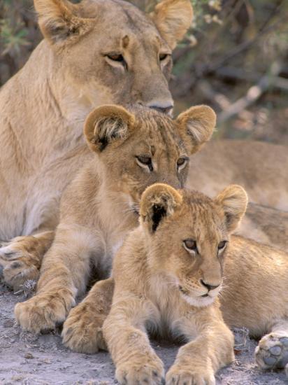 Lioness and Cubs, Okavango Delta, Botswana-Pete Oxford-Photographic Print