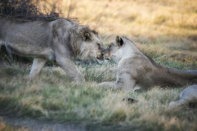 Lioness and Juvenile Nuzzling in Grassland, Botswana, Africa-Sheila Haddad-Photographic Print