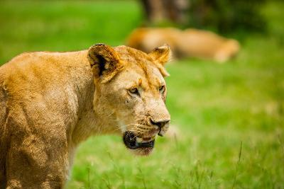 Lioness at Kruger National Park, Johannesburg, South Africa, Africa-Laura Grier-Photographic Print