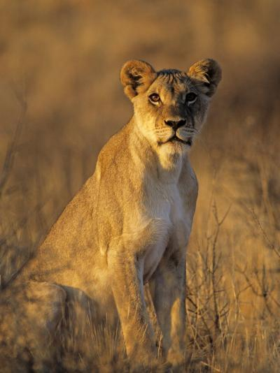 Lioness at Sunrise (Panthera Leo) Kalahari Gemsbok National Park South Africa-Tony Heald-Photographic Print