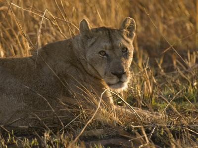 Lioness, Busanga Plains, Kafue National Park, Zambia, Africa-Sergio Pitamitz-Photographic Print