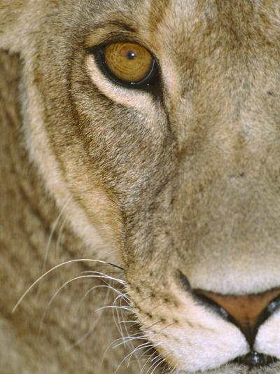 Lioness Close-Up Tanzania Africa--Photographic Print