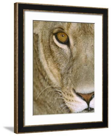 Lioness Close-Up Tanzania Africa--Framed Photographic Print