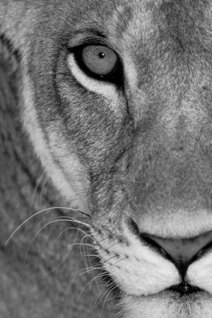 Image result for paintings and artwork sad lioness