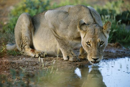 Lioness Drinking-Tony Camacho-Photographic Print