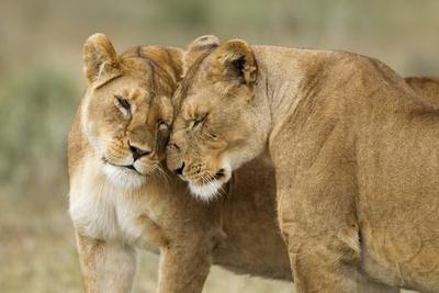 https://imgc.artprintimages.com/img/print/lioness-greeting_u-l-pznoyy0.jpg?p=0