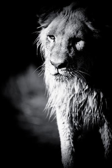 Lioness in Water II-Beth Wold-Photographic Print