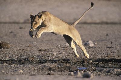 Lioness Jumping over Water (Panthera Leo) Etosha Np, Namibia-Tony Heald-Photographic Print