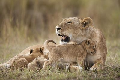 Lioness Nursing Cubs in Masai Mara National Reserve-Paul Souders-Photographic Print